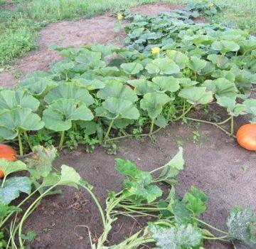 Warum fallen Kürbisfrüchte und Eierstöcke werden auf dem offenen Feld im Garten gelb
