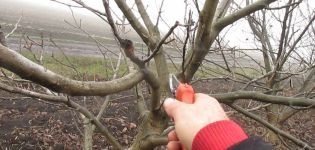 Πώς να κλαδέψετε τα καρύδια την άνοιξη, το καλοκαίρι και το φθινόπωρο και κανόνες για το σχηματισμό της κορώνας