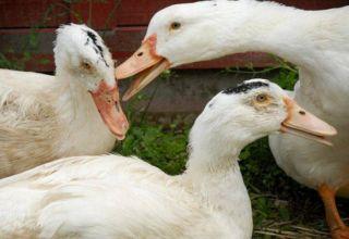 Miért harapják a kacsák egymást és szorítják egymást, és mi köze a kannibalizmushoz?