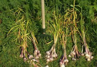 Când este necesară recoltarea usturoiului de iarnă în Siberia și regiuni?