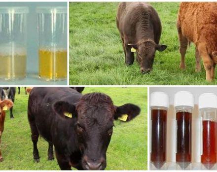 De ce un vițel are urină roșie și face pipi cu sânge, ce să facă