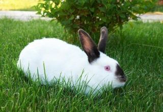 Beschrijving van konijnen van het Californische ras en hun onderhoud thuis
