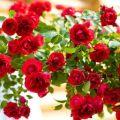A rózsafajta Flamentek leírása, ültetés és gondozás, téli menhely
