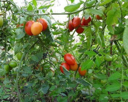 Opis odrody rajčiaka sicílskeho korenia a jeho vlastnosti