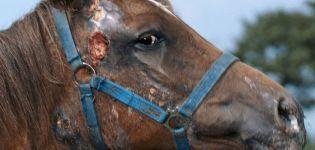 Ce boli au caii, metodele de tratament și prevenire a acestora