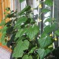 Características del cultivo y cuidado del pepino Balcón F1 en la ventana.