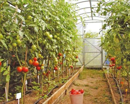 Nombres y características de variedades de tomate indeterminadas, altas y de alto rendimiento para invernaderos.