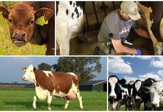 De ce o vacă clamează lapte și nu dă totul, motive și ce să facă