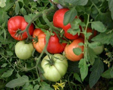 Cómo plantar y cultivar tomates sin regar.