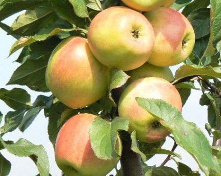 Características y descripción de la variedad de manzana Zarya Alatau, regiones de cultivo y sabor de frutos.