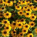 Descrizioni e caratteristiche di 35 varietà e specie di rudbeckia