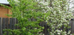 Gründe, warum eine Birne möglicherweise keine Früchte trägt und was zu tun ist, wie man sie zum Blühen bringt