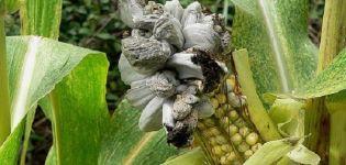 Opis a liečba chorôb a škodcov kukurice, opatrenia na boj proti nim