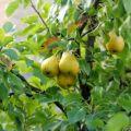 A körte ültetése, termesztése és gondozása a szabadban