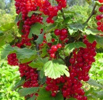 Caracteristicile și descrierea soiurilor de coacăze roșii Uralskaya krasavitsa