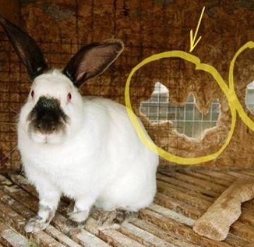 Por qué los conejos roen las jaulas y cómo destetarlos, qué no hacer