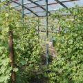 Anbau und Pflege von Trauben in der Region Moskau ohne Gewächshaus auf freiem Feld für Anfänger