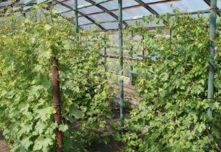 Cultivarea și îngrijirea strugurilor în regiunea Moscova fără seră în câmp deschis pentru începători