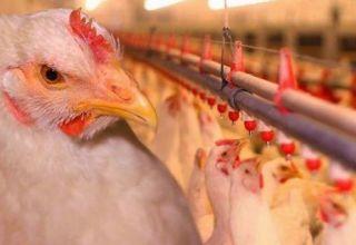 Descriptions des 11 meilleures races de poulets de chair pour l'élevage à la maison