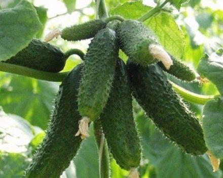 Descrierea soiului de castraveți Amur, cultivarea și îngrijirea acestuia