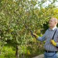 Hogyan kell ápolni a cseresznyeféléket nyáron, ősszel és tavasszal a betakarítás után