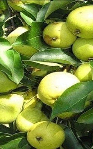 Descripción de las variedades de pera Skorospelka de Michurinsk, esquema de plantación y cuidado.