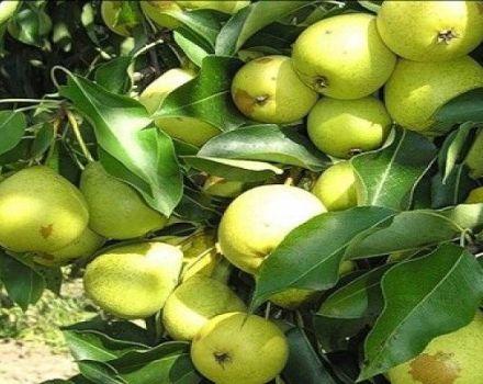 Beschrijving van Skorospelka-perenrassen uit Michurinsk, plantschema en verzorging