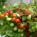 Características y descripción de la variedad de tomate Sweet kiss, su rendimiento