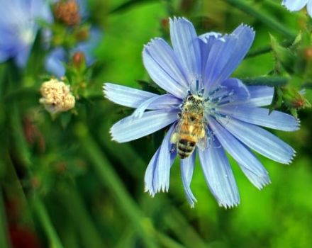 Plantarea și cultivarea cicoarei din semințe în grădină, îngrijire în aer liber și reproducere