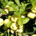 Descrierea și caracteristicile soiurilor de mere Umplutura albă, când este coaptă și cum se păstrează