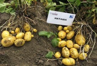 Opis odrody zemiakov Natasha, jej vlastnosti a výnos