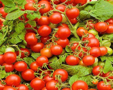 Opis odrody rajčiakov Verige, znaky pestovania a starostlivosti