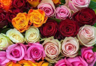 Características y descripción de la variedad, cultivo y cuidado de la rosa de Kenia.