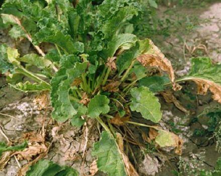 Por qué las hojas de remolacha se vuelven amarillas y se rizan y qué hacer