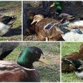 A Rouen fajtájú kacsák leírása és jellemzői, karbantartásuk szabályai
