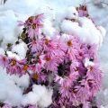 Cum puteți salva crizantemele pe timp de iarnă și regulile de adăpost în câmp deschis