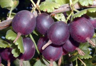 Descripción y características de la variedad de grosella espinosa Komandor, plantación y cuidado.