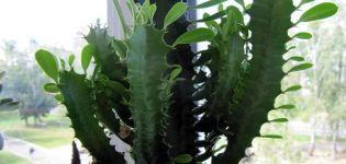 Reglas para plantar y cuidar el algodoncillo triangular en casa.