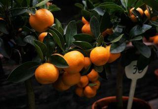 Cómo pellizcar correctamente un árbol de mandarina en casa