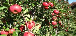 Caracteristici și descriere a soiului de mere Topaz, cultivare și randament