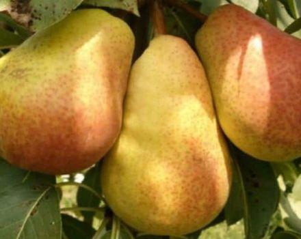 Descripción de las peras de verano, otoño e invierno, cuáles son mejores para elegir.