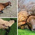A bradzot kórokozója a juhokban és a betegség jelei, kezelése és megelőzése