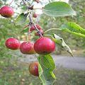 Az almafajták leírása és jellemzői, termesztési jellemzői és régiói Ajándék a kertészek számára