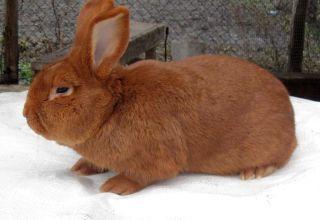 Descripción y características de los conejos de la raza de Nueva Zelanda, su historia y cuidado.