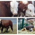 A tehenek típusai és színei Oroszországban és a világban, hogy néz ki a szarvasmarha, a fajták jellemzői