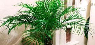 Descripción de la palmera datilera Robelini, plantación y cuidado.