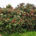 Descripción y características del viburnum gordovina, las reglas para su plantación y cuidado.