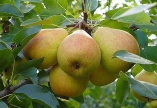 Descripción y características de la variedad de pera Veles, plantación y cuidado.