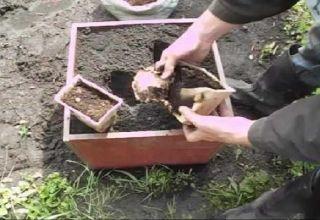 Cómo cultivar y cuidar el jengibre en campo abierto y cuándo cosechar