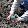 Cómo plantar correctamente las berenjenas en campo abierto: esquema de siembra, medidas agrotécnicas, rotación de cultivos